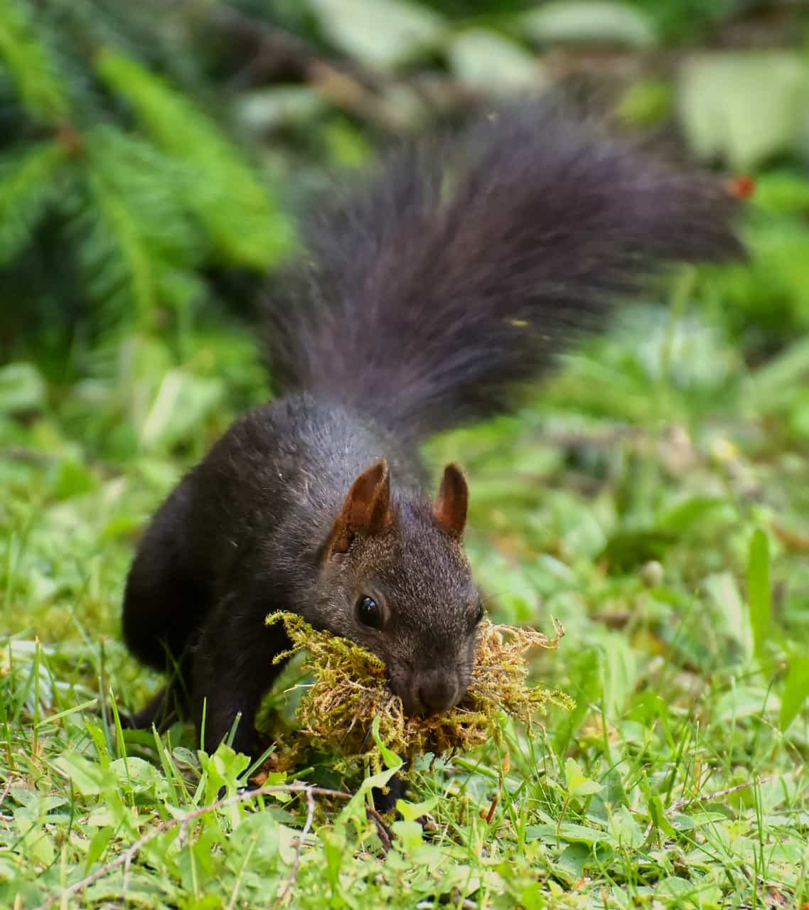 Squirrel constructing home